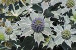 Strand-mandstro (Eryngium maritimum)